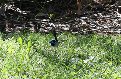 Superb Blue Wren on the lawn